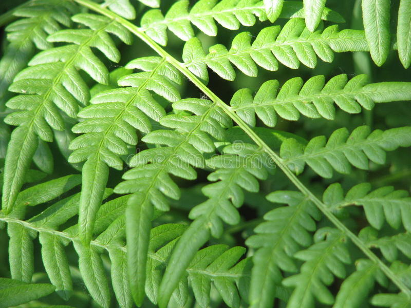 Fern Leaves stock afbeeldingen