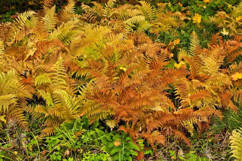 Fern Leaves fotografie stock