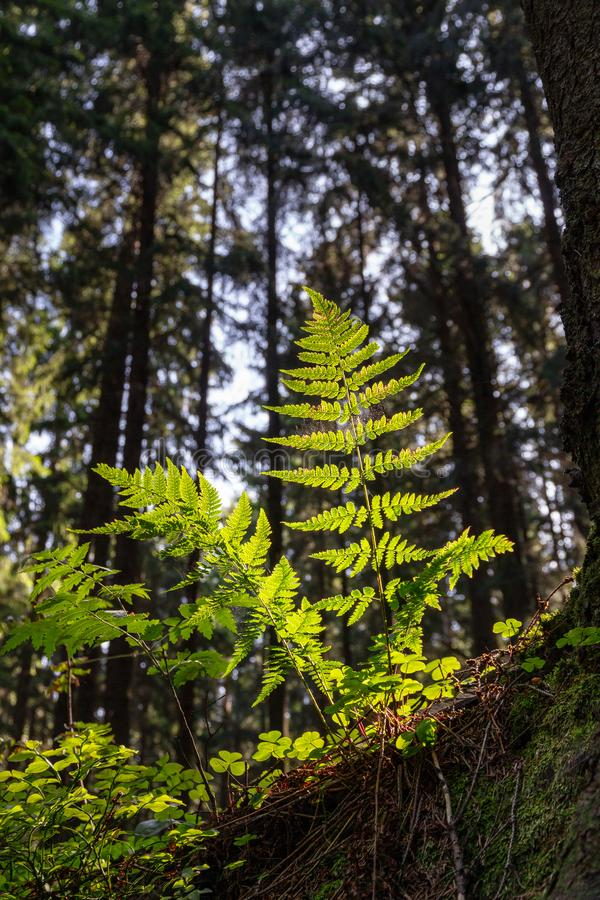 Fern leaves lit by sunlight at sunrise in a dark forest. Bottom view. Nature background. Bright fern leaves lit by sunlight at sunrise in a dark forest. Bottom royalty free stock photo