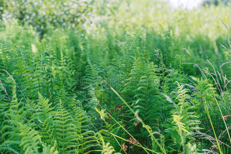 Fern leaves. Chlorophyll. Healthy flora growing in the forest on the planet Earth. stock photography