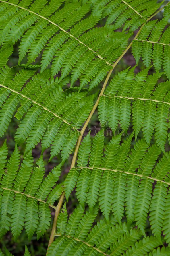 Fern leaves. Green fern leaves patern in nature royalty free stock photo