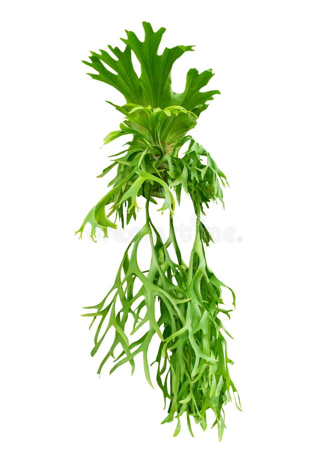Free Fern Leaves Hanging On Tree Isolated White Background ,Polypodium Polycarpon Leafs Stock Photography - 102944302