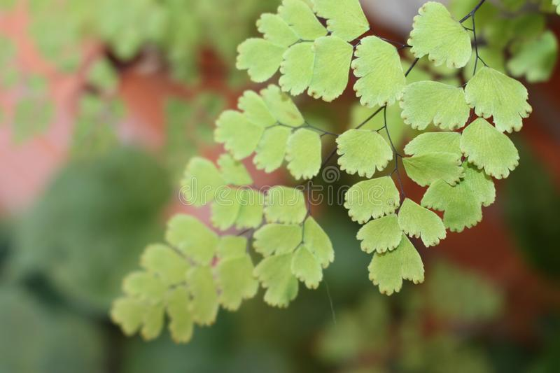 Fern leaves looking beauty green. Leaves of very light appearance of the family of ferns. They shine a light green color that brightens any space stock photos