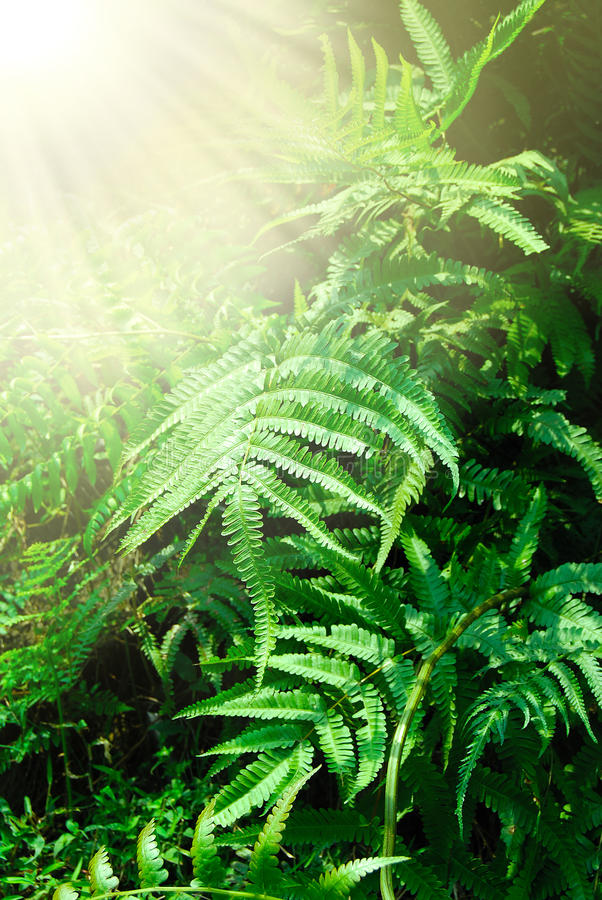 Download Fern leaves stock photo. Image of jungle, outdoors, flora - 29989986