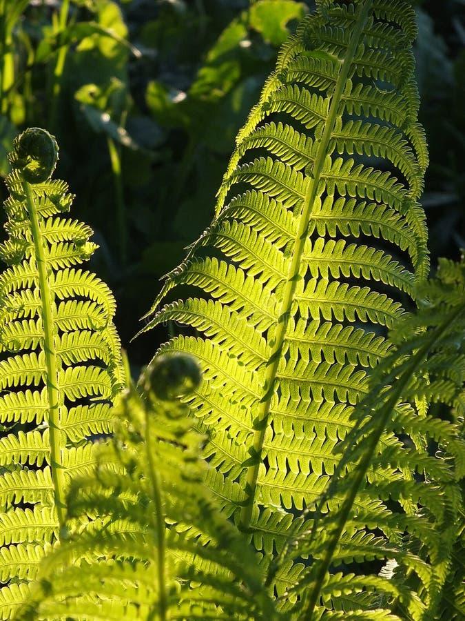 Fern leaves in sunshine stock photo