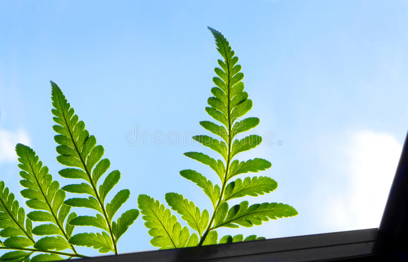 Fern leaves, sunshine over window sill. A bright, cheery photograph of some fresh green ferns foliage peeping over the windowsill in early golden morning sun royalty free stock photos