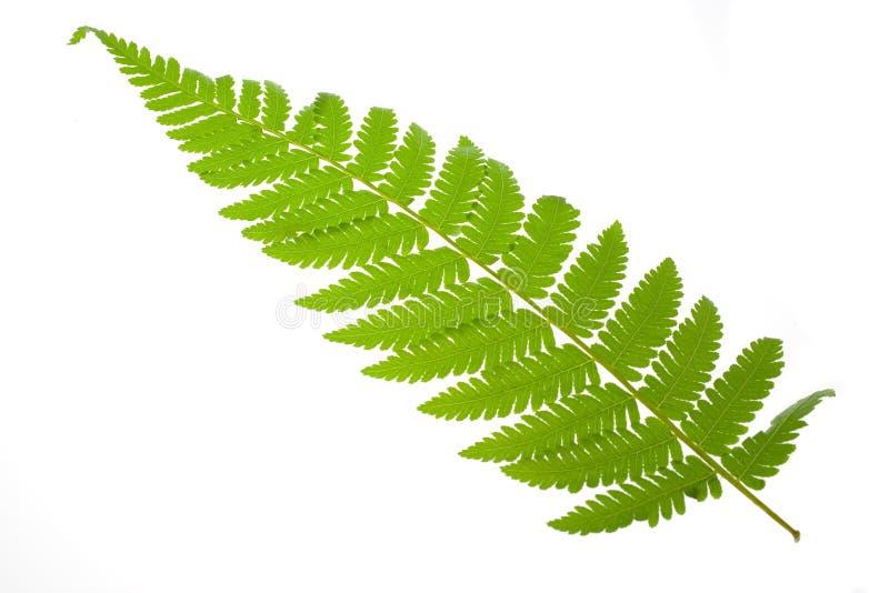 fern liści, zdjęcie royalty free