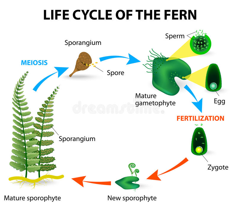 Fern life cycle vector illustration