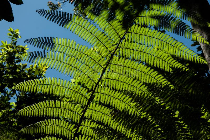 A fern is lit by backlit sunlight in a tropical forest. A fern in a small clearing in a tropical forect is lit up by the sun, the shadows have reminders of New stock images