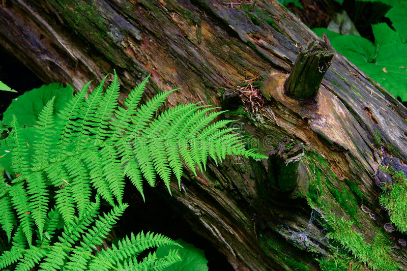 Fern and a log in the forest royalty free stock images
