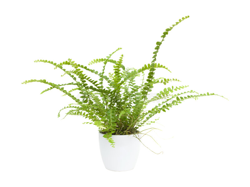 fern maidenhair fotografia stock
