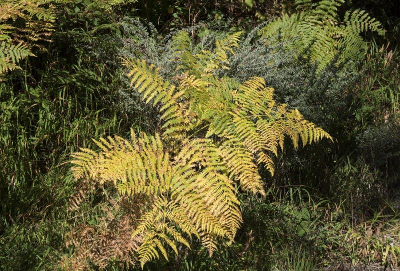 Fern na floresta no outono foto de stock royalty free