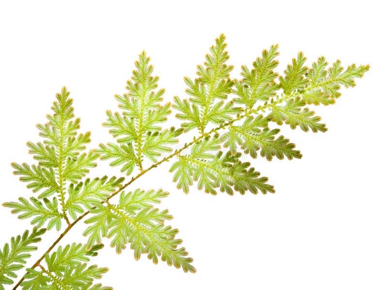 fern odizolowane liście obraz stock