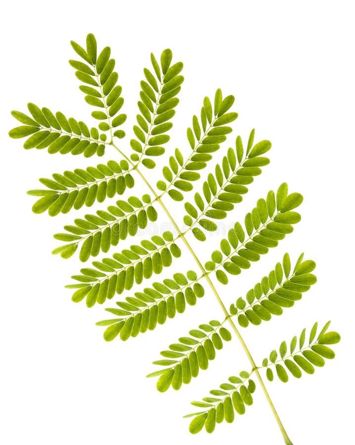 fern odizolowane liście fotografia stock