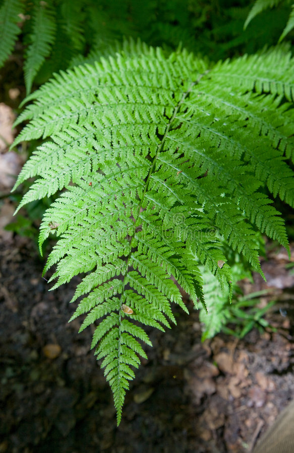 Fern Partly In Shadow Closeup Royalty Free Stock Photo