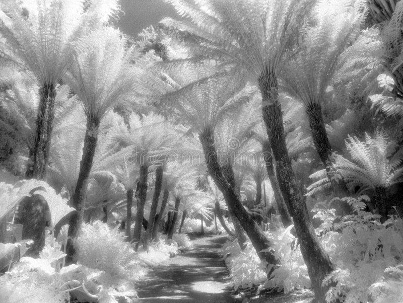 Fern Path in Infrared stock photo