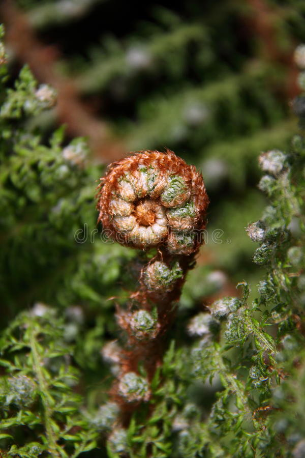 Download Fern plant stock image. Image of undergrowth, curl, curly - 16139033