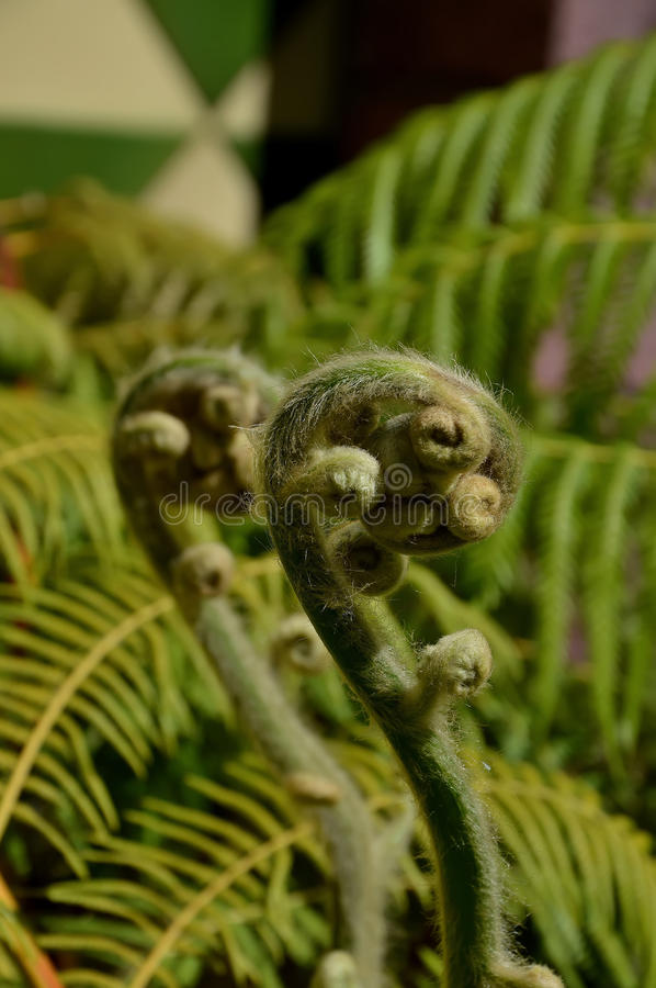 Fern plant. Detail of young ferny stems royalty free stock images