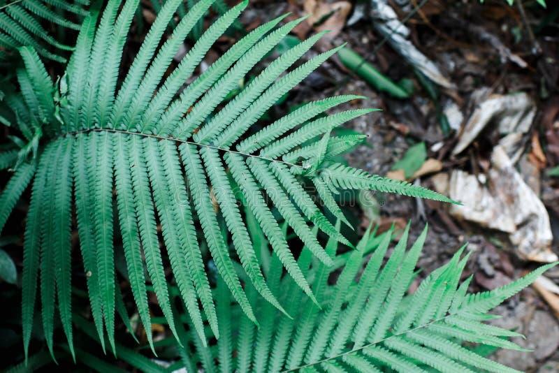 Fern Polipodiophyta Fern Leaf - Frond Giardinaggio Foglie verdi Giardino domestico Giardinaggio Foglie verdi fotografia stock