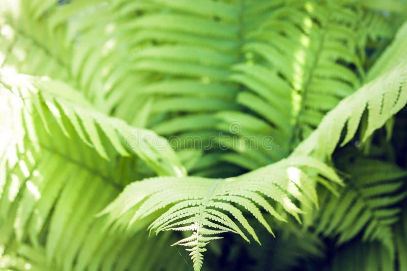 Fern Polypodiophyta com fundo verde da textura das folhas, plantas em um jardim imagens de stock