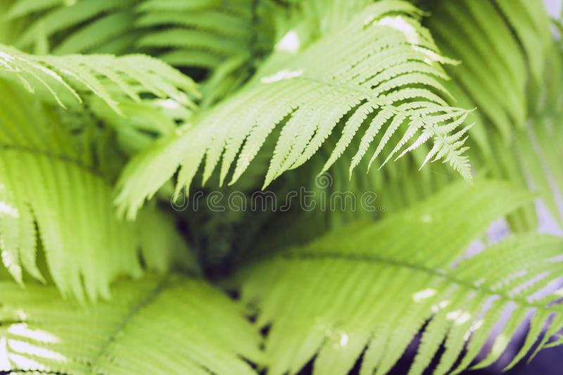 Fern Polypodiophyta with green leaves texture background, plants in a garden royalty free stock images