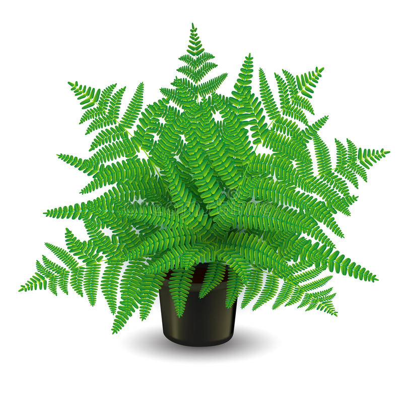 Fern in a pot. Home fern on white. Vector illustration vector illustration