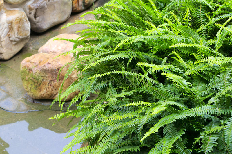 Fern royalty free stock images