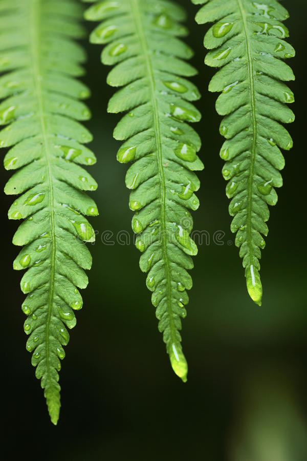Download Fern And Rain Drops Stock Photography - Image: 22231652