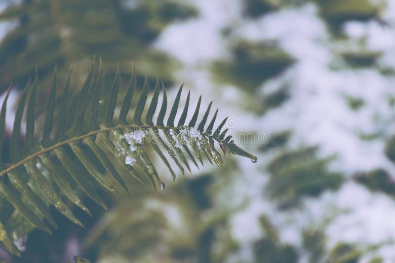 Fern and snow royalty free stock images
