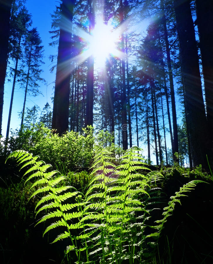 Fern and sunset. In a forest royalty free stock image