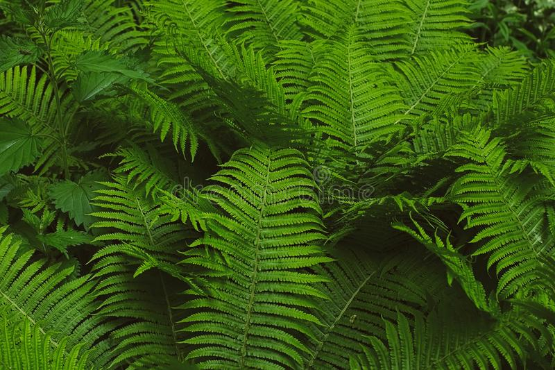 Fern thicket. Green fern thicket in forest background stock image