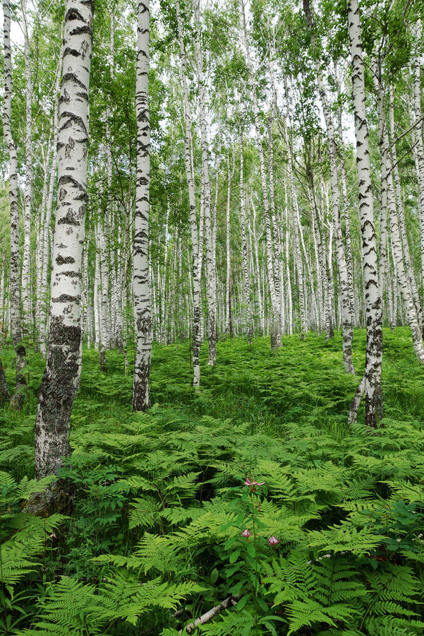 Fern thickets in a birch forest royalty free stock photo