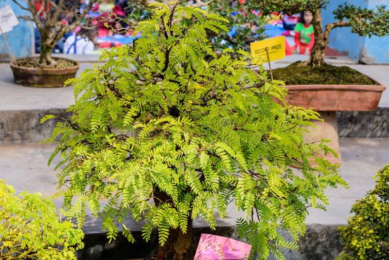 Fern Tree Bonsai para la exhibición en una maceta Un género tropical de la especie de hojas caducas imperecedera del higo, vides  foto de archivo libre de regalías
