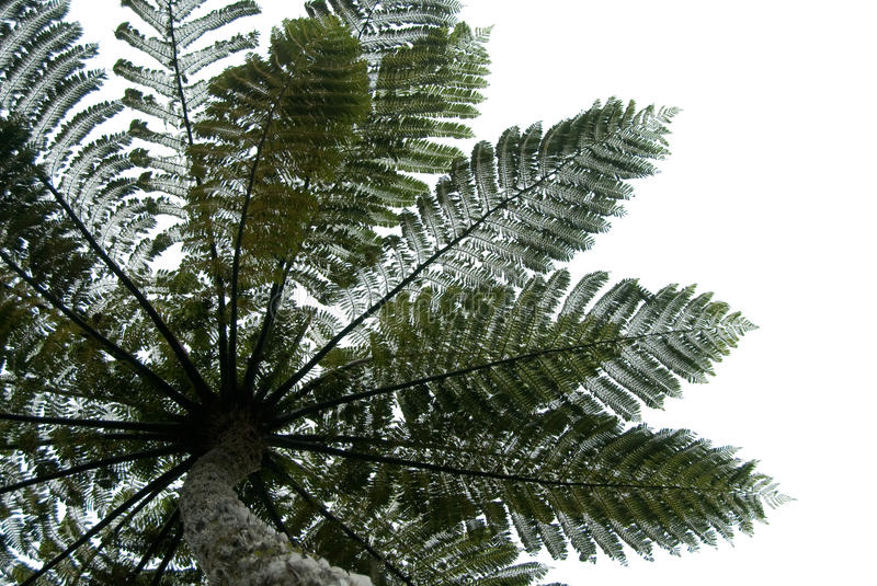 Fern tree leaves. Looking up to the sky under a large fern tree creating a silhouette against the sky New Zealand native Punga fern stock images