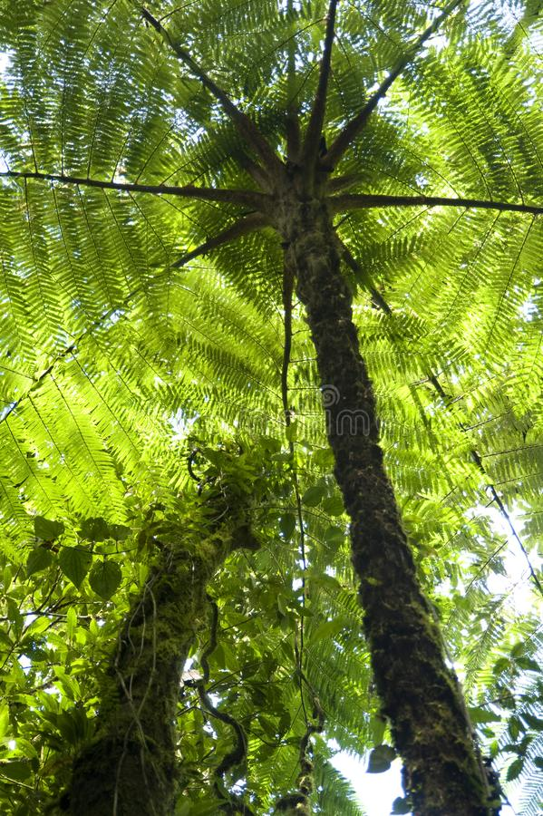 Fern trees contribute to the canopy of the Monteverde Cloud Fore. The Monteverde Cloud Forest Reserve was established in 1972 and initially covered some 810 royalty free stock photo