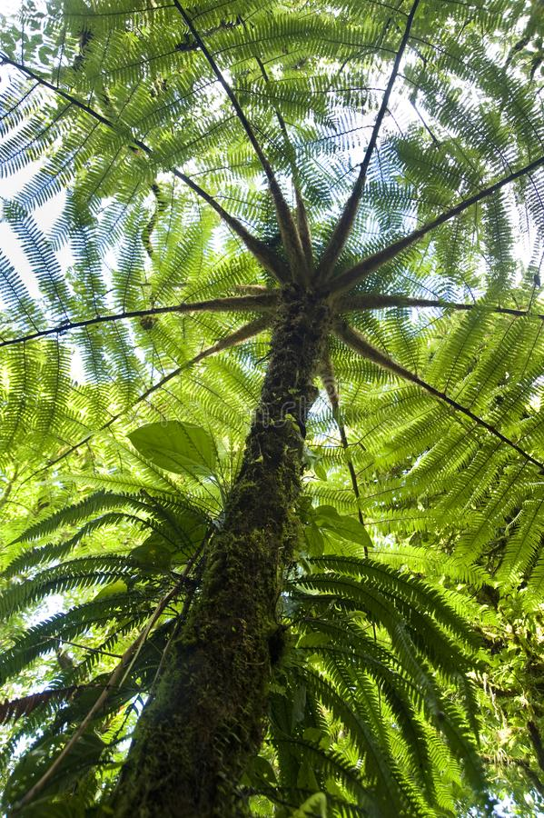 Patterns created by fern fronds as seen from below. The Monteverde Cloud Forest Reserve was established in 1972 and initially covered some 810 acres of forested royalty free stock photos