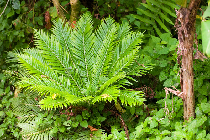 Fern in a tropical garden