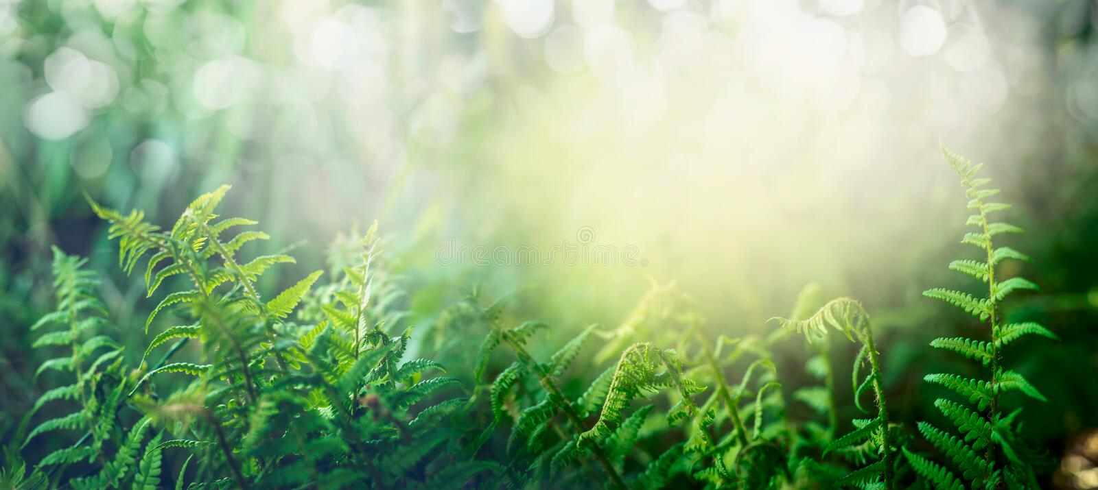 Fern in tropical jungle forest with sun light, outdoor nature background. Banner stock photos