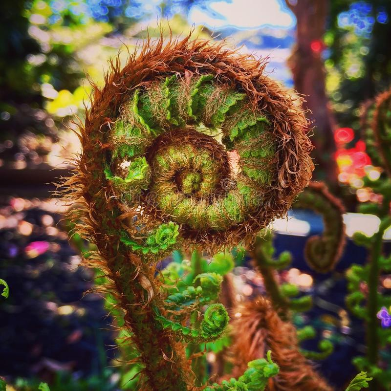 Fern unfurling royalty free stock images