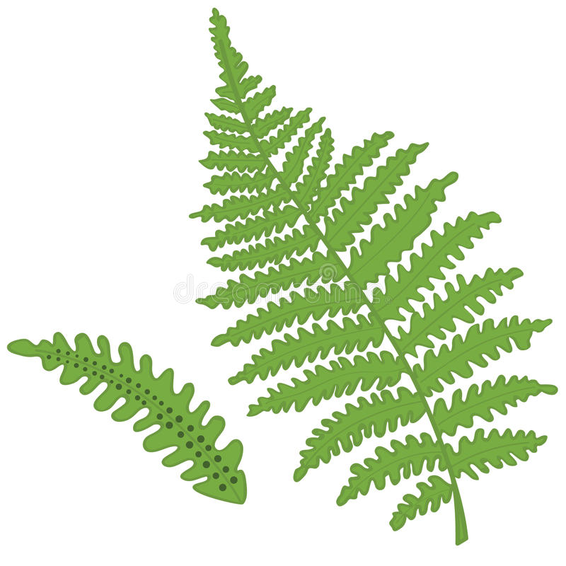 Free Fern Vector Stock Images - 24415134
