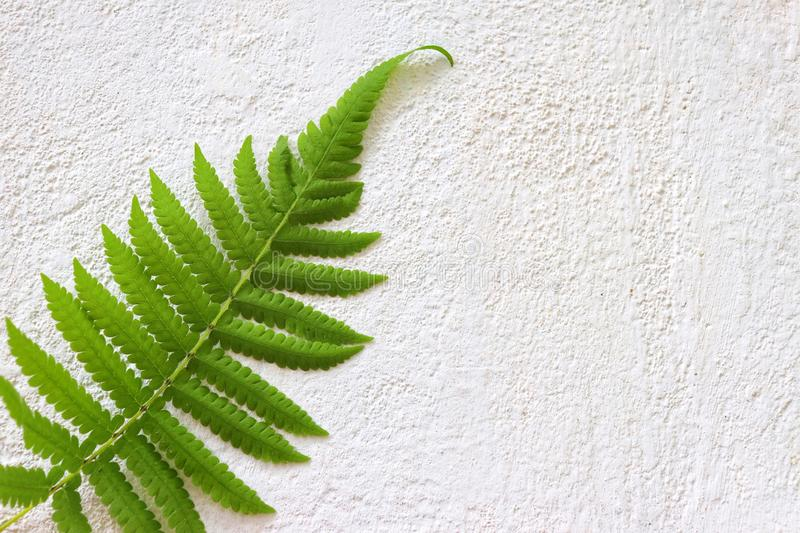 Fern on white background , green leaf and nature isolated royalty free stock photos