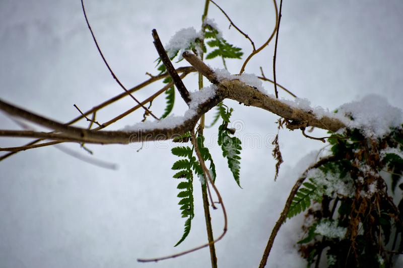 Fern in the winter. Green fern leaves under snow in winter. royalty free stock photography