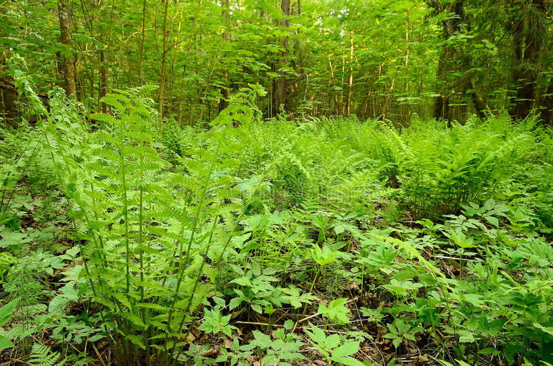 Download Fern in the woods stock photo. Image of botany, forest - 25203224