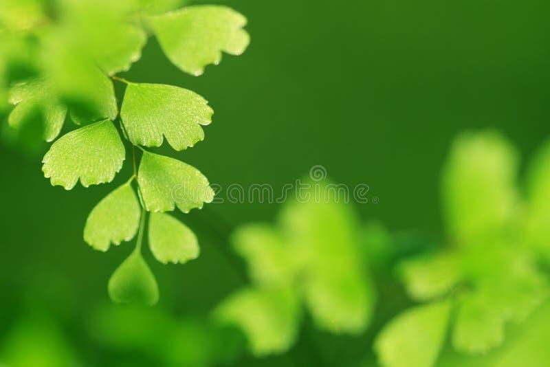 fern zielone liści zdjęcie stock