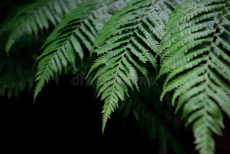 Fernen låter vara bakgrund En ormbunke i naturlig gräsplan fer för regnskog royaltyfria foton