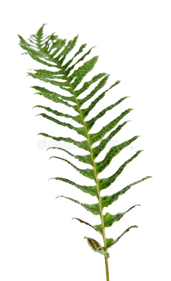 fernery одно ветви стоковые изображения rf