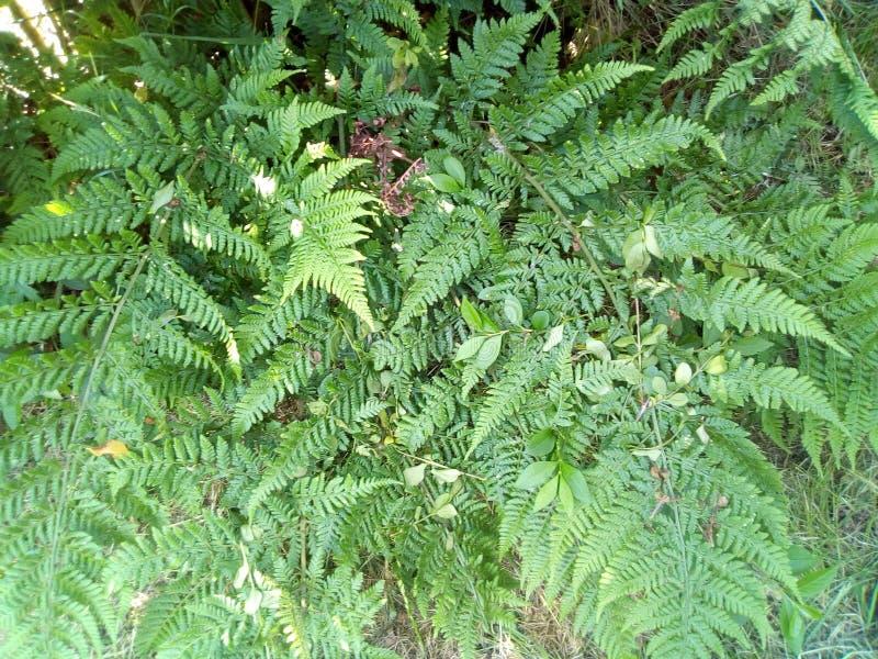 ferns royaltyfria foton
