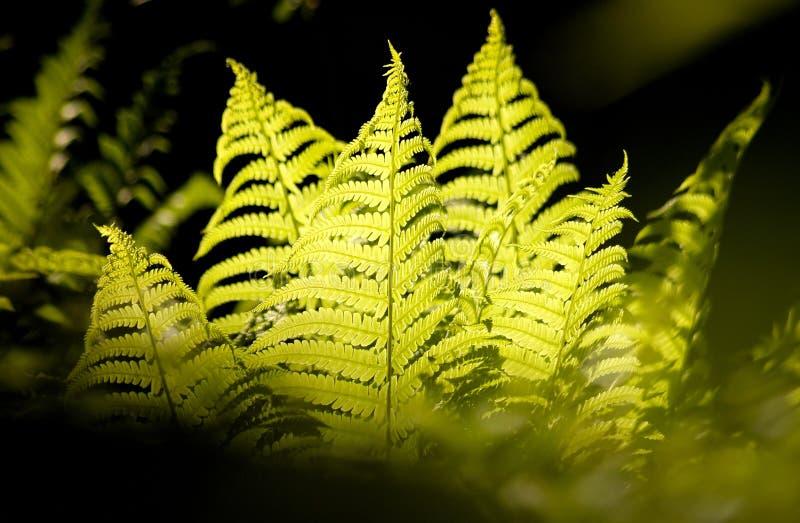 Download Ferns stock image. Image of leaves, sunlighting, ferns - 24038451