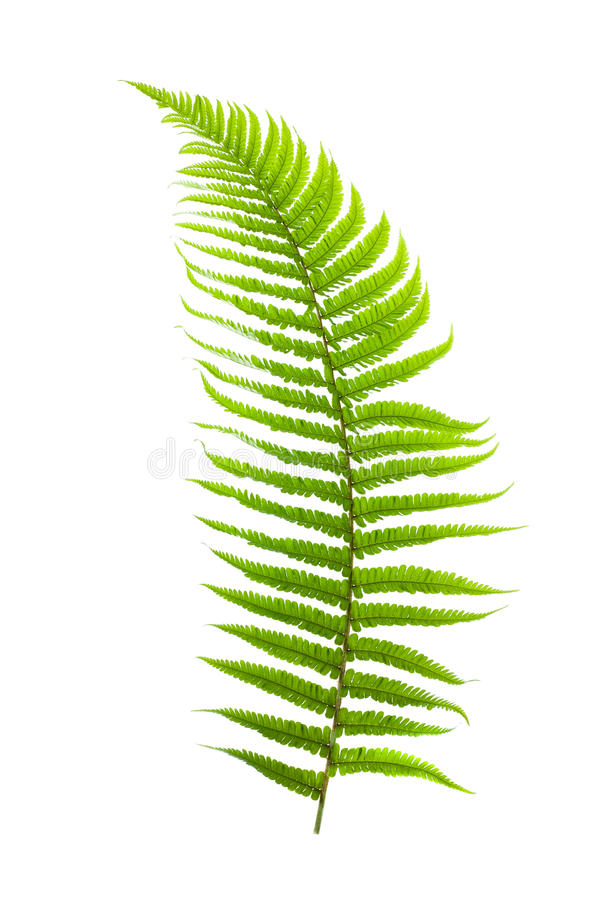 ferns royaltyfri foto