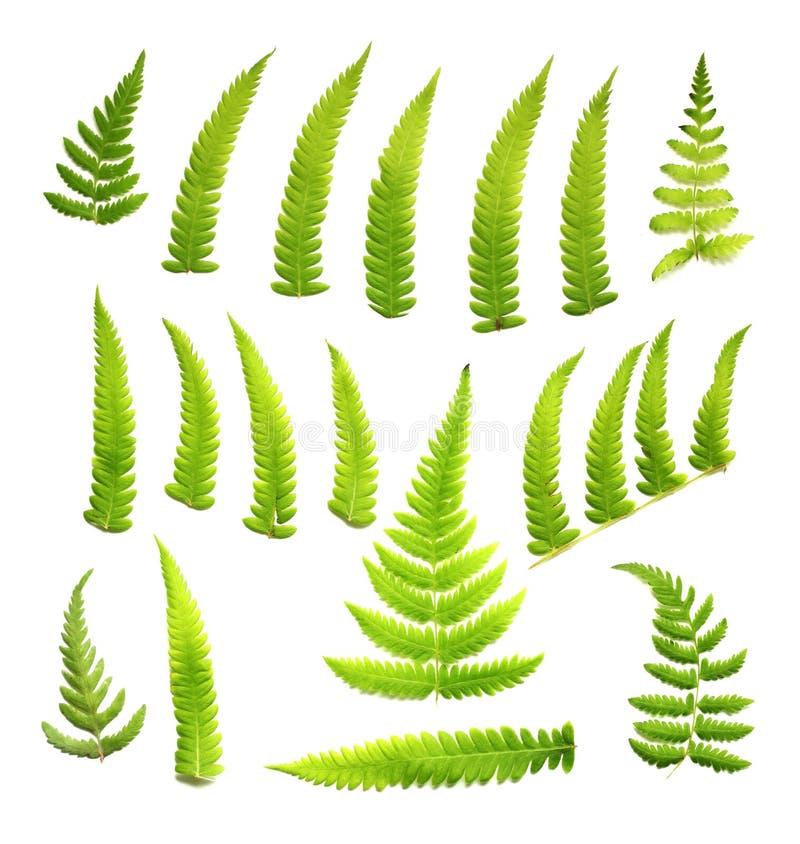Download Ferns stock illustration. Illustration of natural, ornamental - 9807253